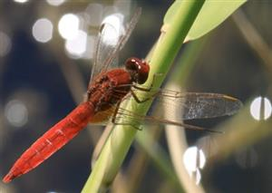 Dragonflies, as climate change indicators