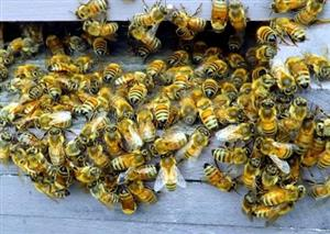 Bees survival: ban more pesticides?